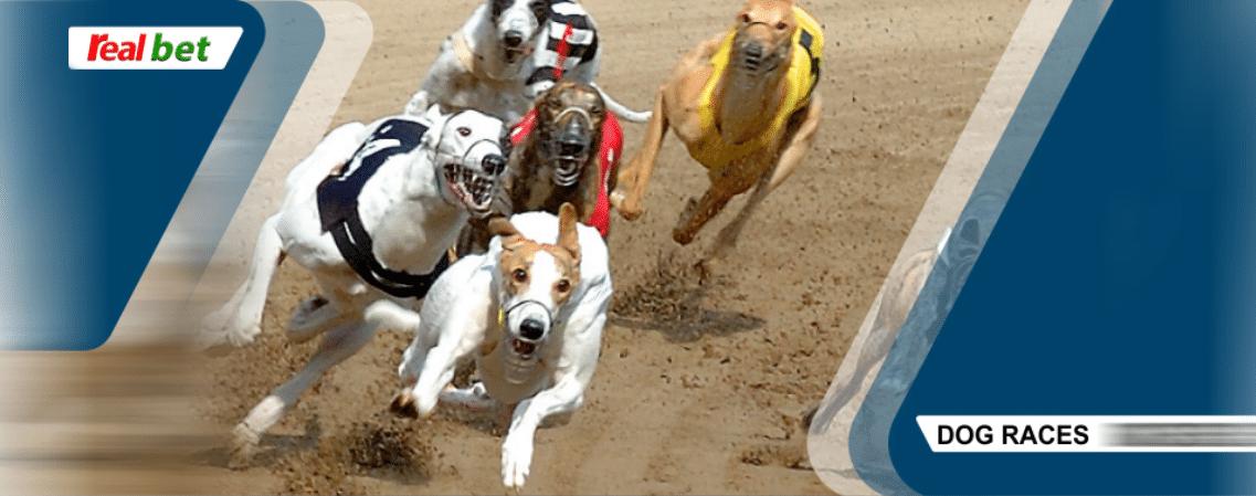curse cu caini real bet